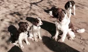 Springer Sibs Cort, Franny, Morgan and Fern