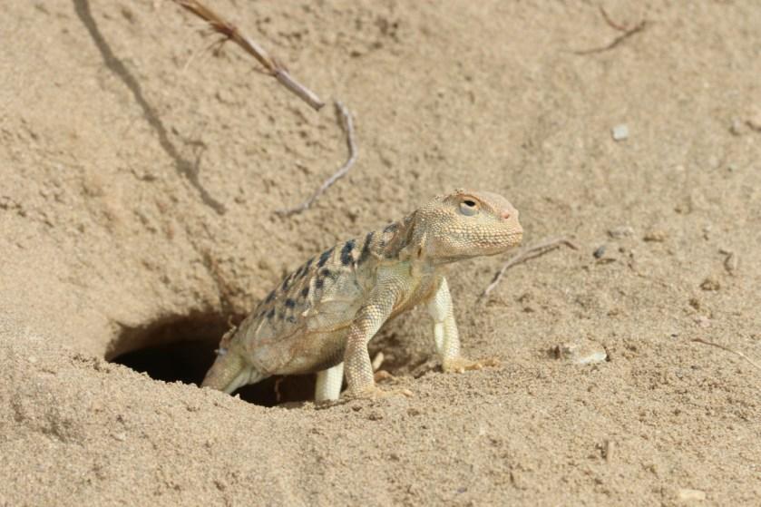 <em>Phrynocephalus vlangalii</em> guarding a burrow