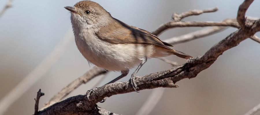 chestnut dumped thornbill