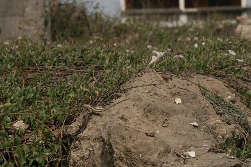 Adult male of M. occipitalis basking near creeping plants (Chanduy)