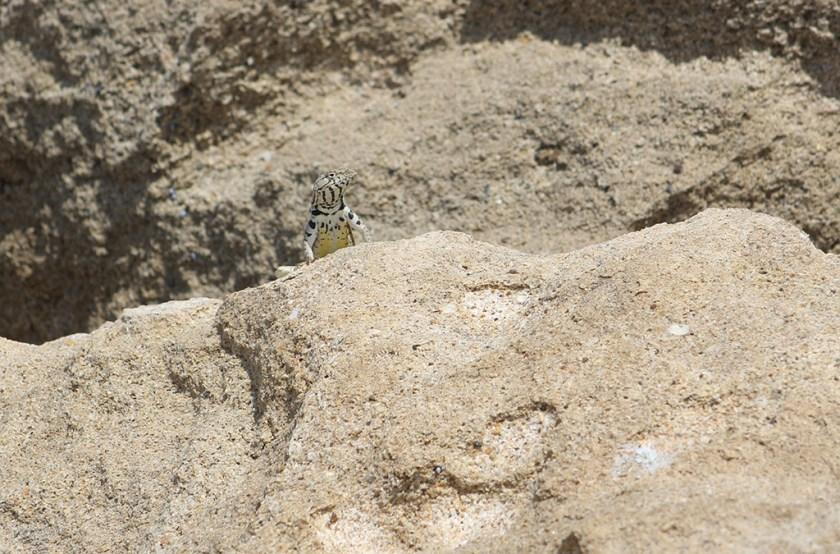 Basking adult male M. peruvianus showing the characteristic yellow spot (Chanduy)