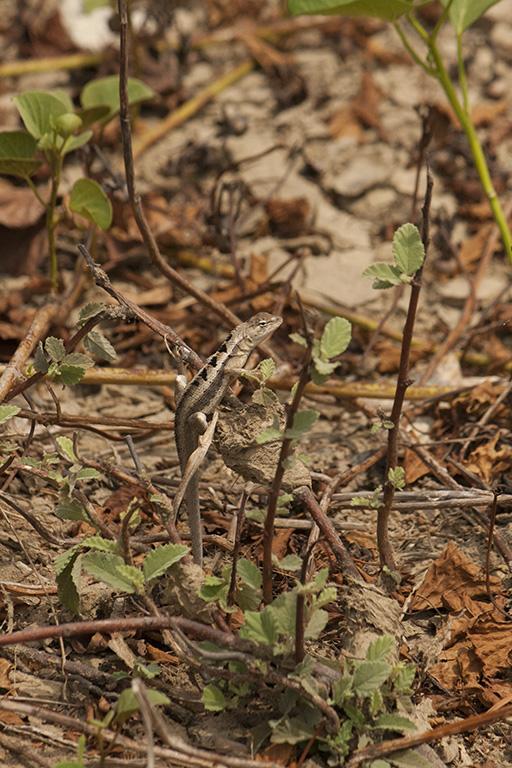 M. occipitalis male basking on a creeper plant (Cerro Alto)