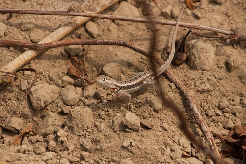 M. occipitalis female basking on the ground (Cerro Alto)