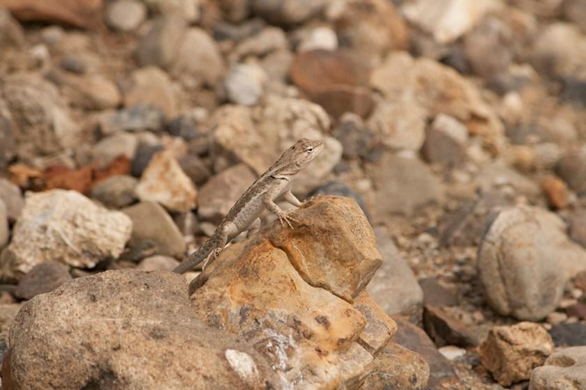 M. occipitalis female basking on a rock (Cerro Alto)
