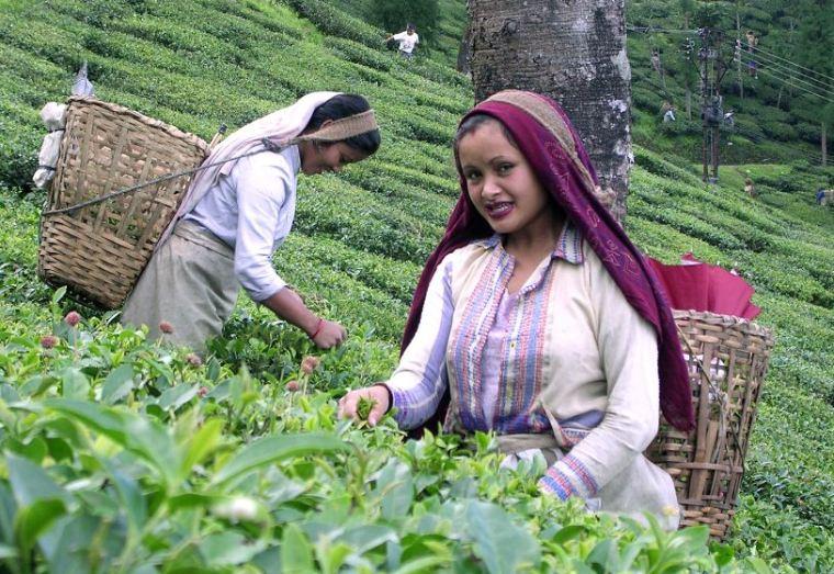 زراعة الشاي في الهند