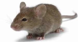 مكافحة الفئران