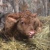 Red Devon Calf
