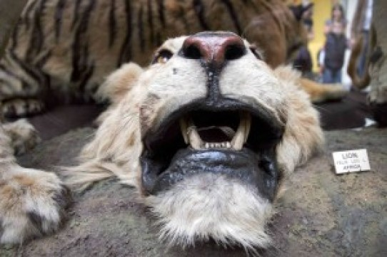 A decapitated lion in the Dead Zoo