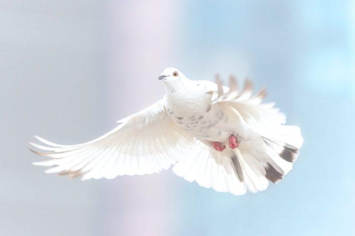 White Dove Beloved Son