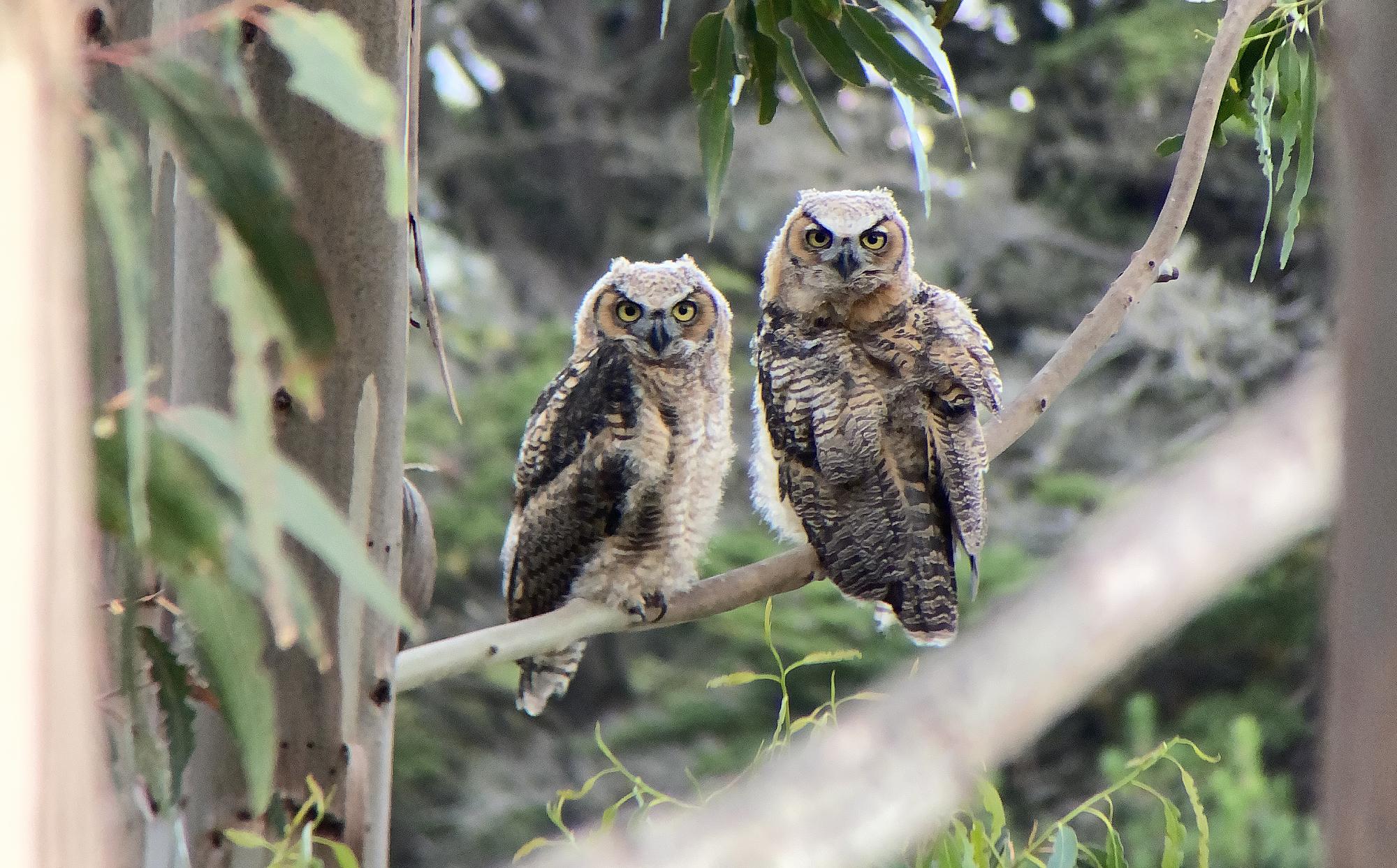 The Owls of Montara Mountain