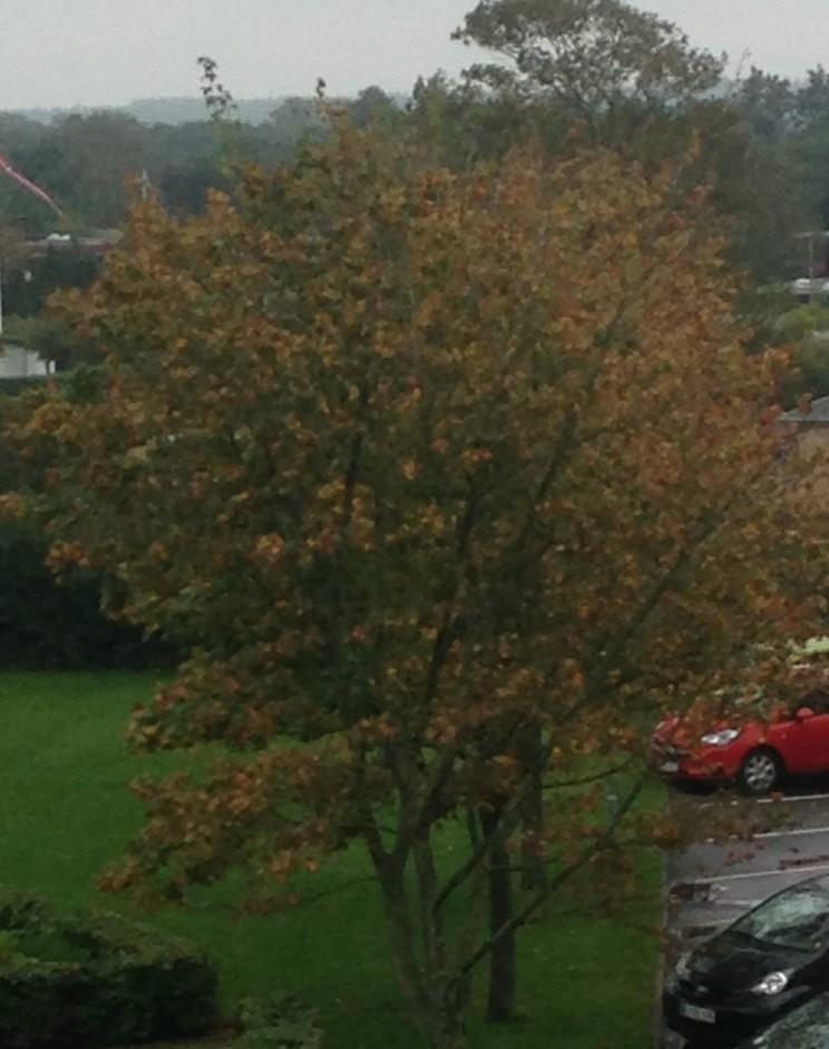 Mit træ i begyndende efterårsklæder