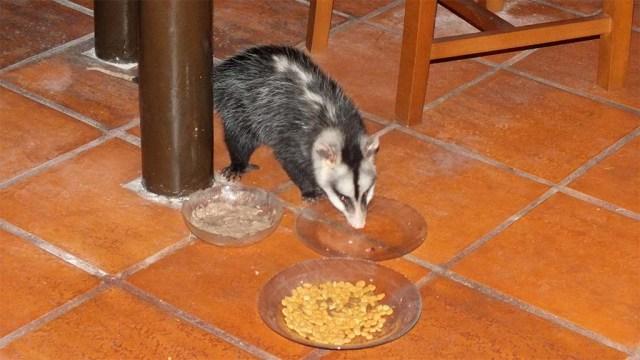 Unsere 'Heidi', ein Opossum