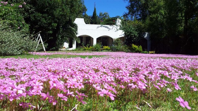 Klee-Blütenmeer vor dem Haus.