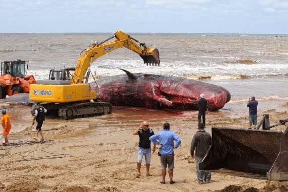 In Montevideo (Uruguay) ist ein toter Pottwal von 16,5 Metern  Länge angeschwemmt worden.