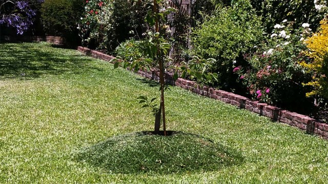 Einfaches Hügelbeet für einen Kirschbaum.