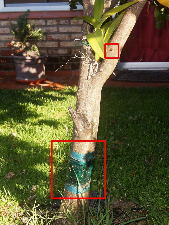 Leimring am Zitronenbaum