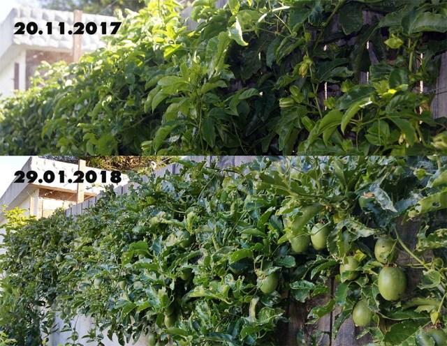 Maracujapflanze  ohne und mit Raupen
