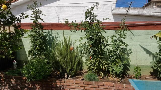 Tomatenpflanzen im Kräuterbeet