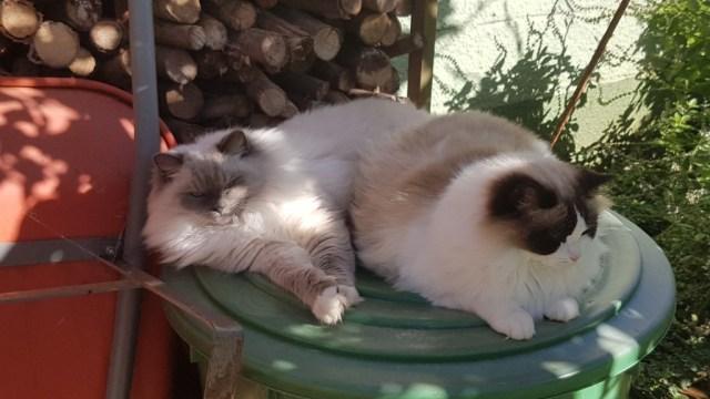 CajunRagdolls Ana und Alice