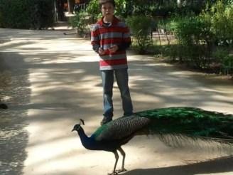 peacock - spain