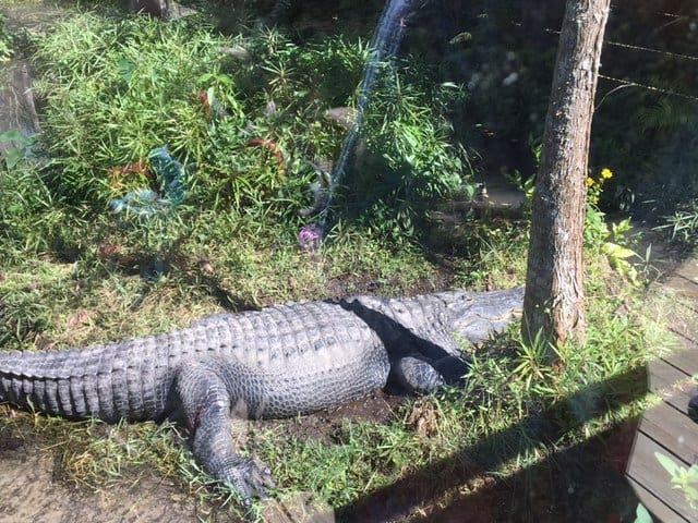 Crocodile memories