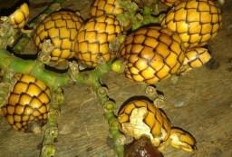 Alimuran Fruit