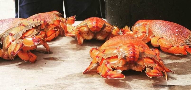 Kuracha crabs