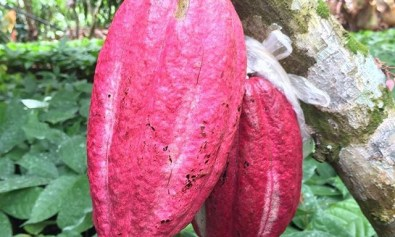 Philippine Cacao Fruits on Tree