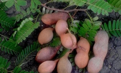 Sampalok (Tamarind) Plant with Pods