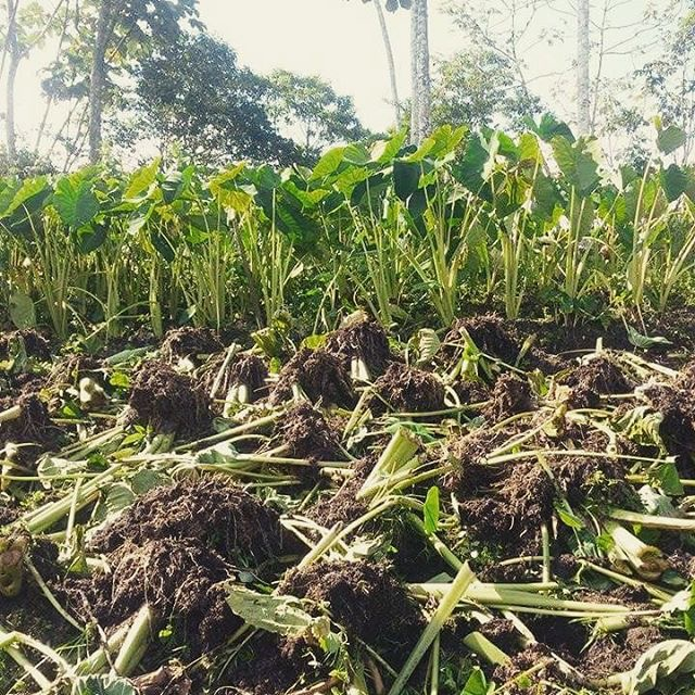 Taro Plants / Gabi Field