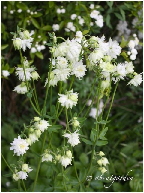 Aquilegia vulgaris 'White Barlow%22