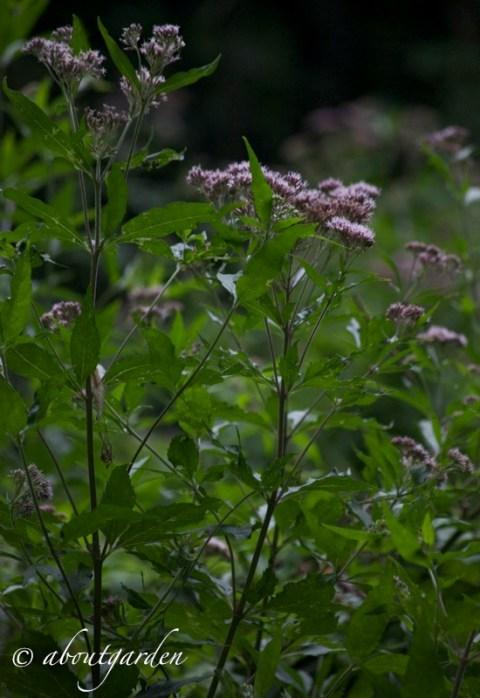 eupatorium nel bosco