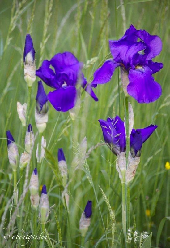 campo con iris