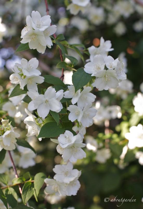 Fiore d'Angelo