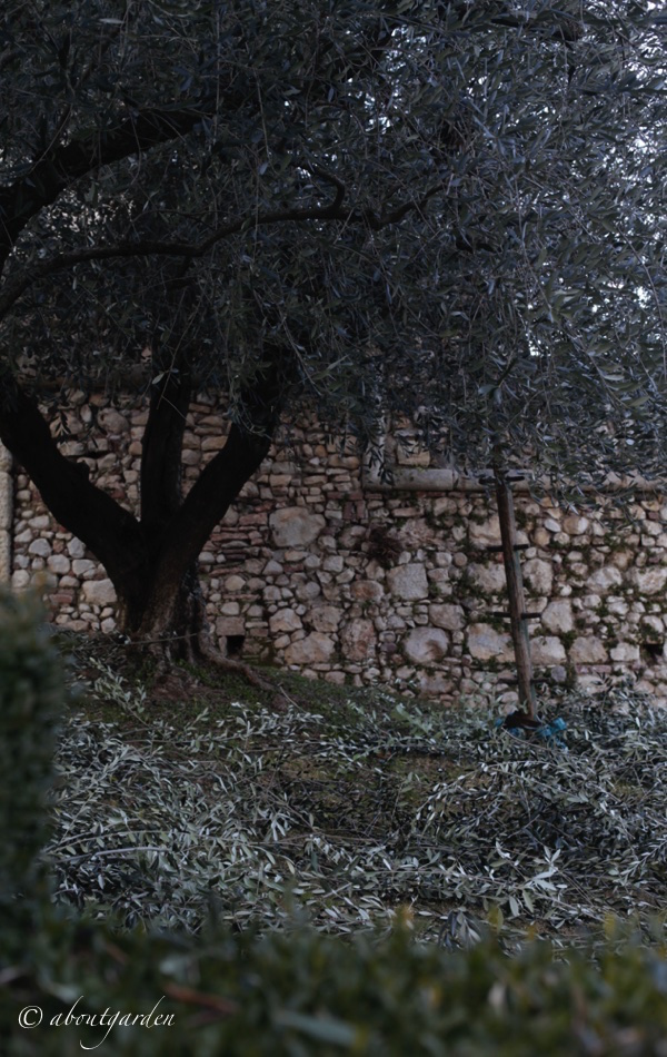 potatura-olivi-villa-arvedi