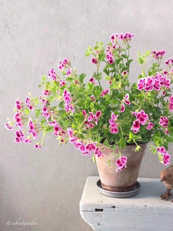 my geranium S. Chiarugi 3..jpg