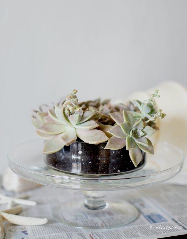 vaso di vetro decorazione con succulente
