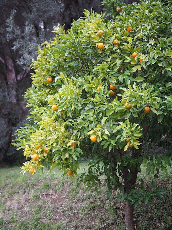 albero di melangolo