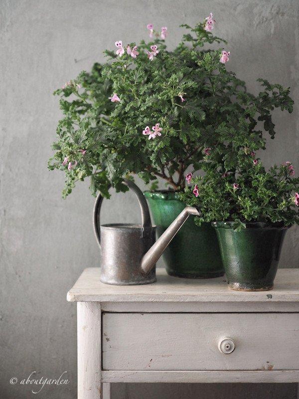 Pelargonium 'Royal Oak'