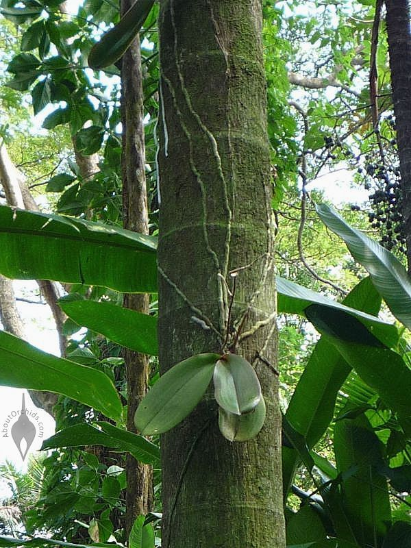 Phalaenopsis orchid growing in nature