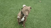 red_nose_pit_bull_raising_paw_to_shake_hands