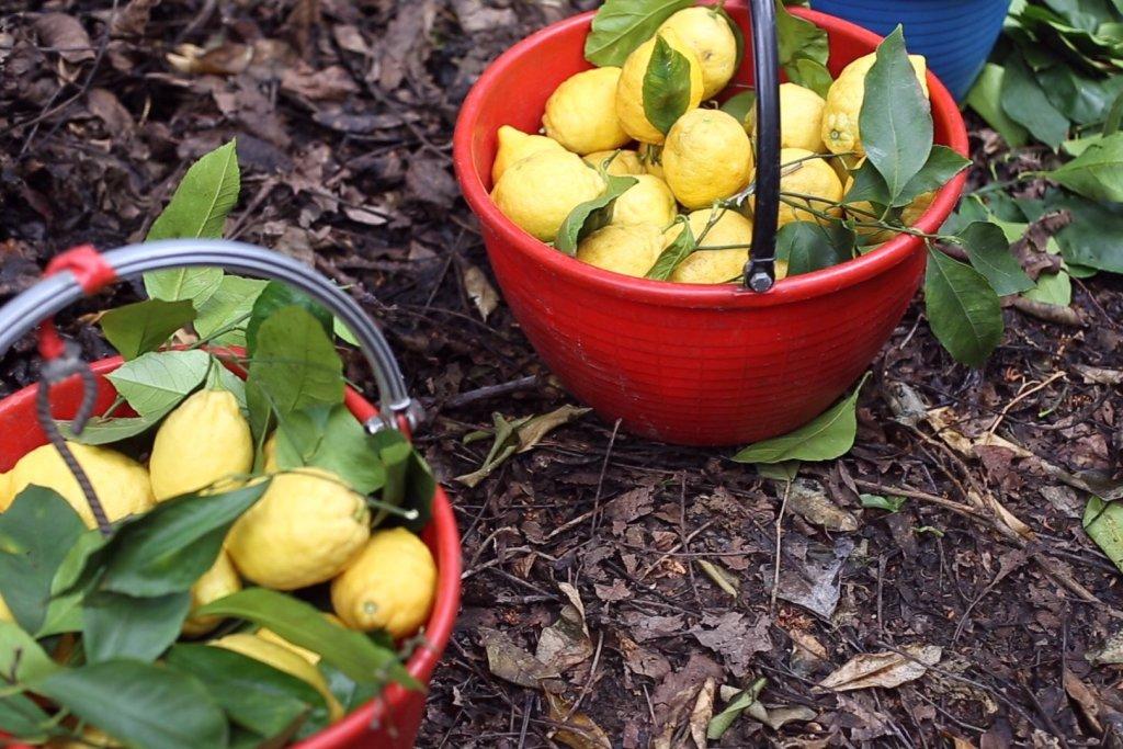 i limoni Sorrento Francesca d'Esposito foto