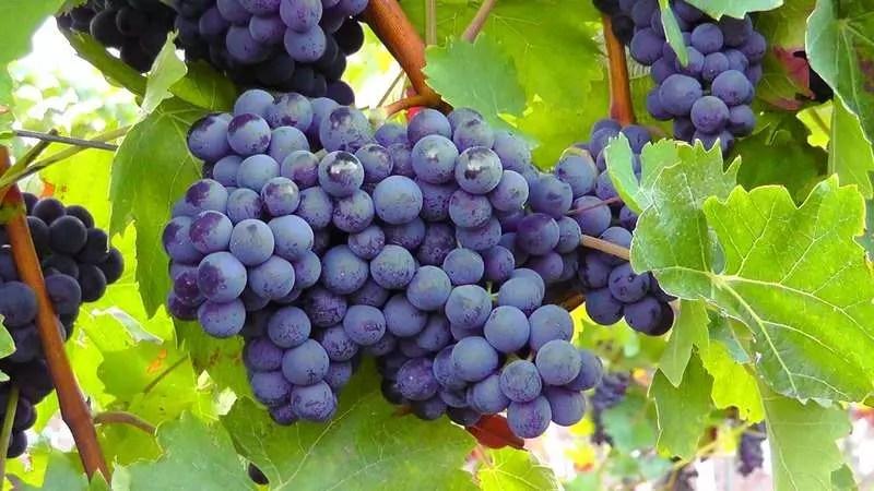Ученые из НИЦ «Курчатовский институт»: российский виноград – предок испанских сортов