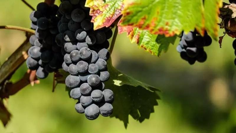 Севастополь: производство вина в 2021 году упало на 6%