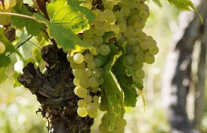 «Винный гид России» провел аудит виноделен Ростовской области