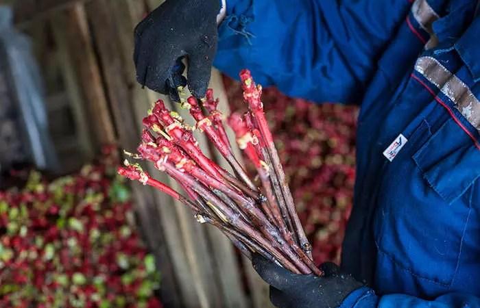 «Фанагория» собирается построить новый виноградный питомник
