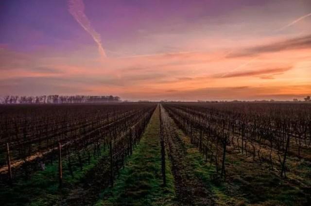 Ставрополье наращивает площади виноградников