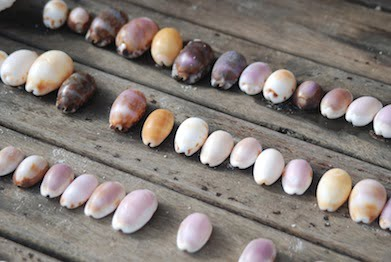 Shells, Wilson Island (2)