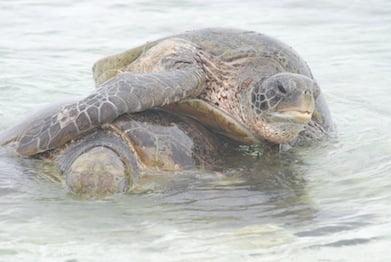 Turtles, Wilson Island (2)