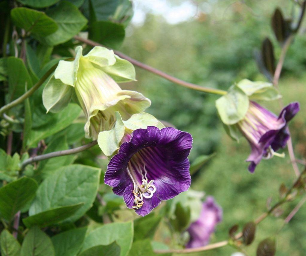 plante grimpante persistant pousse rapide abri jardin. Black Bedroom Furniture Sets. Home Design Ideas